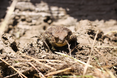 European brown toad in clay surface of dirty puddle in wild nature
