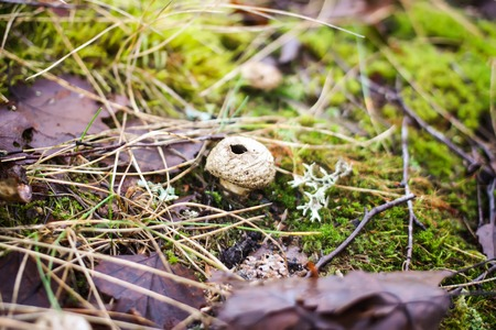 Small mushroom raincoat growing in autumn forest