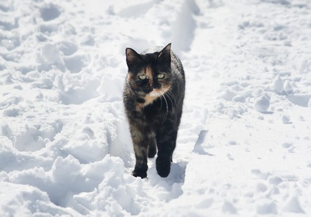 Young active cat in the snow in sunny winter day.