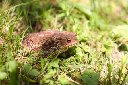Brown toad on the ground
