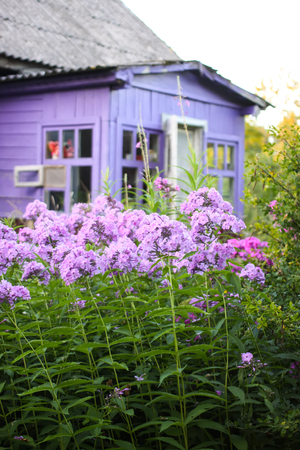Garden Phlox (Phlox paniculata) purple flowers blooming in summer garden on country house background.