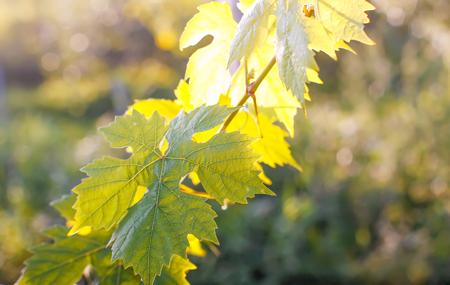 Green wine leaves in sunlight.