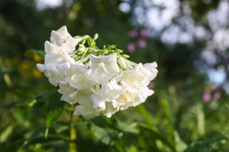 White phloxes blooming in summer park.