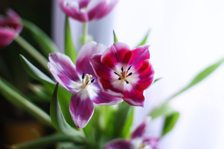 Bouquet of beautiful spring tulip flowers.