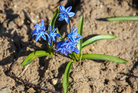 Blue first spring flowers of the Scilla Squill plant blooming in a forest. Scilla Bifolia. Stock Photo