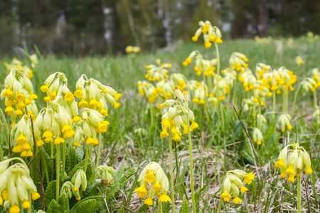 Spring yellow primula flowers blooming in a park. Yellow Cowslip (Primula veris) plants.