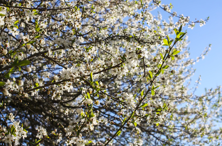 Bunches of apple tree blossom with white flowers on blue sky background. Details of spring nature.