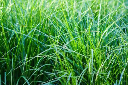 Fresh bright green grass background. Detail of summer nature. Natural texture.