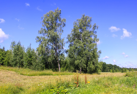 Summer landscape in countryside with two birch trees on blue sky background. Stock Photo