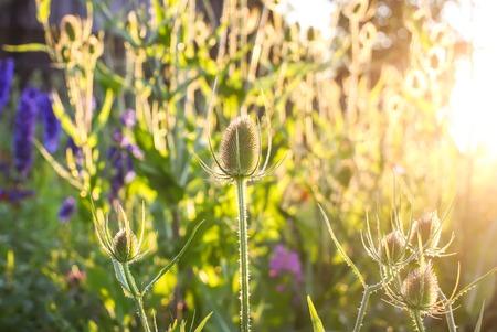 Beautiful garden flowers. Teasel plant in sunlight. Stock Photo