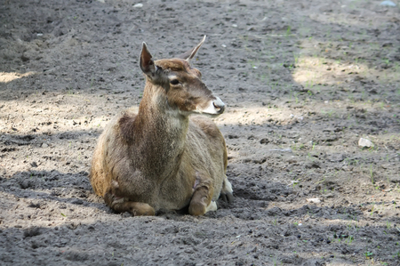 White-beaked young deer lying on the ground. Rare breed of deers lives in Tibet. Фото со стока