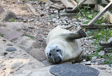 A young grey seal pup lying on the ground.