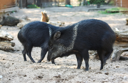 Little black pigs running on the sand in zoological garden.