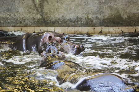 Two fighting hippos in water. Hippopotamus amphibius wild animal living in South Africa. Stock Photo