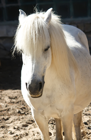White beautiful shetland pony with long mane in sunlight outdoors