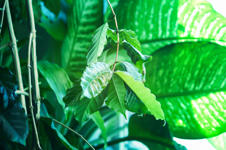 Tropical leaves in sunlight close up. Green foliage nature background.