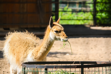 Young lama eating hay in zoological garden