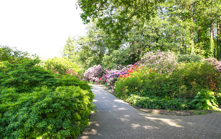 Beautiful landscape with rhododendron plants in bloom in spring park. Banque d'images