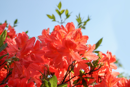 Beautiful Rhododendron plants in bloom in spring park.