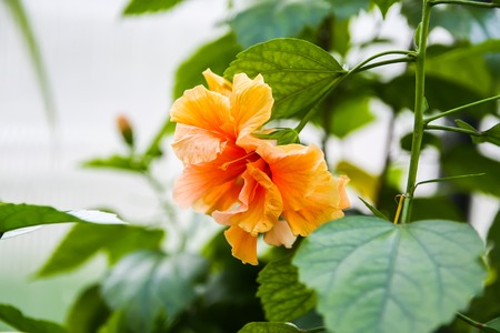 Beautiful orange Hibiscus flower with green leaves in bloom