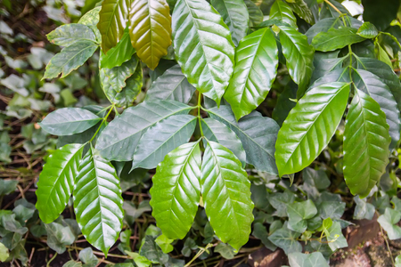 Tropical leaves. Exotic plants. Green natural background. Details of nature. Imagens