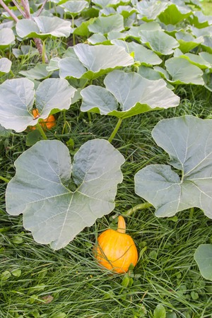 Pumpkins with large leaves growing in a garden