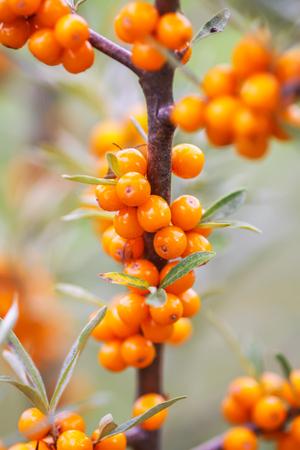 Branch of orange sea buckthorn berries in autumn park. Seasonal berry harvest in countryside.