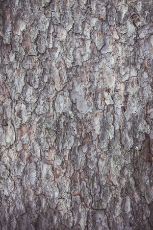 Rough texture of tree bark. Natural background.