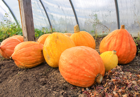 Ripe orange autumn pumpkins in greenhouse. 版權商用圖片
