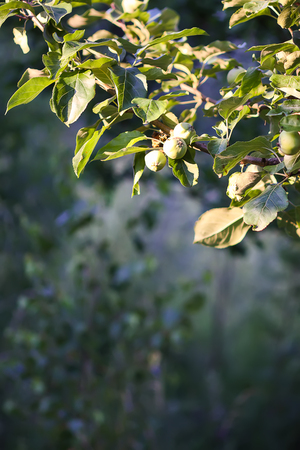 Green unripe apple fruits on tree in a sunny summer day in countryside. Stock Photo