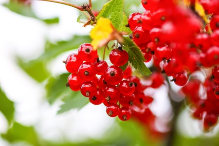 Ripe red currant in a summer garden. Ribes rubrum plant with ripe red berries