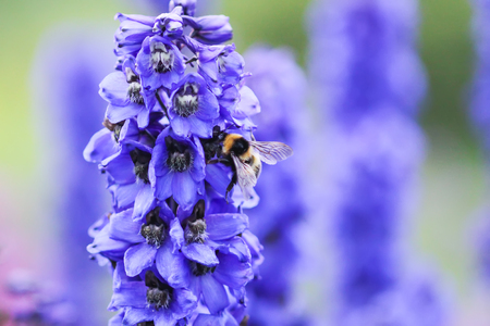 Blue delphinium beautiful flowers in summer garden. Blooming plants in the countryside. Stock Photo