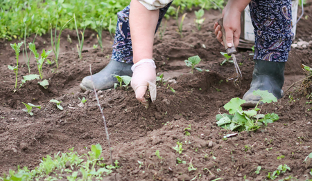Weeding in kitchen garden. Young vegetables. Stockfoto