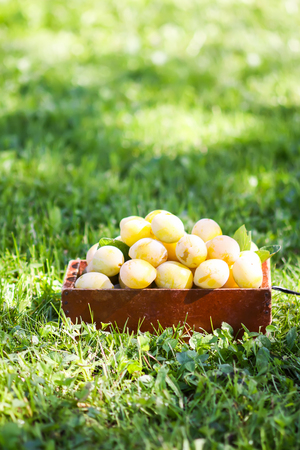 Fresh yellow plums. Ripe fruits in a wooden box on green summer grass in a garden.