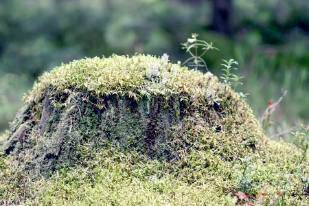 Large tree stump with green moss in summer forest.