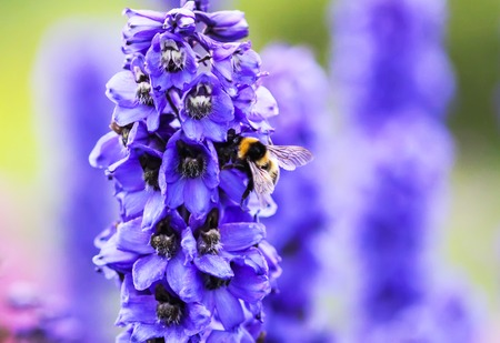 Blue delphinium beautiful flowers in summer garden and honeybee. Blooming plants in the countryside.
