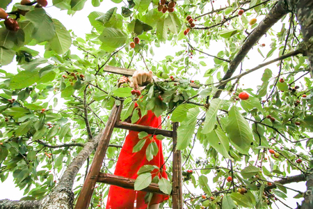 Teenager girl in red dress standing on wooden stairs and collecting sweet cherry fruits. Prunus avium plant.