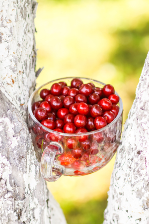Ripe cherries in a glass cup between the trunks of tree. Fresh red cherry fruits in summer garden in the countryside