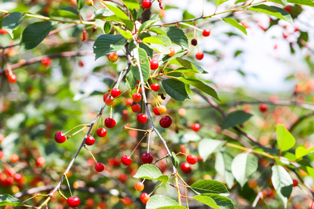 Ripe cherries on tree branches. Fresh red cherry fruits in summer garden in the countryside