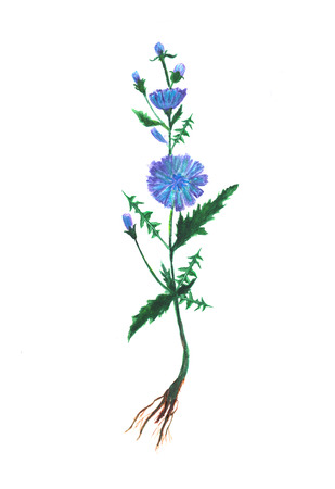 Watercolor illustration of blue cichorium flowers. Hand painted botanical element. Stockfoto - 121162964