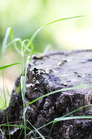 Birch tree stump and green grass in park. Summer nature details.