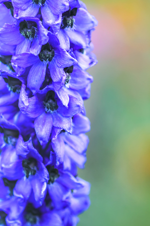 Blue delphinium beautiful flowers in summer garden. Blooming plants in the countryside.