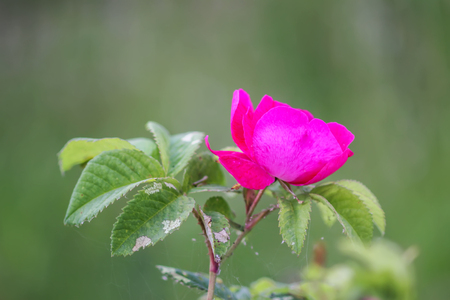 Pink flowers of dog-rose rosehip blooming in summer garden.