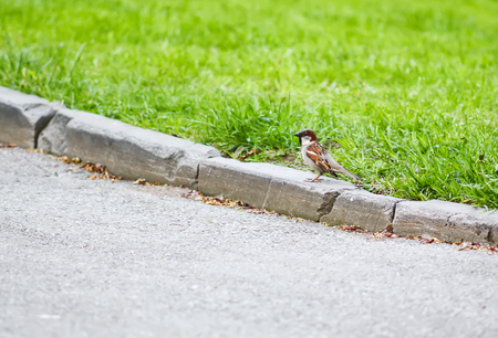Beautiful little sparrow bird walking on the curb of flower bed in spring park Stock Photo