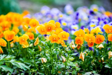 Beautiful spring pansy seasonal ornamental flowers in the garden. Viola, violet plants.