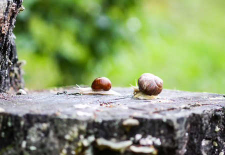 Snails crawling in summer day in garden.
