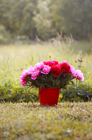 Beautiful red and pink peony flowers bouquet in the bucket on rural nature