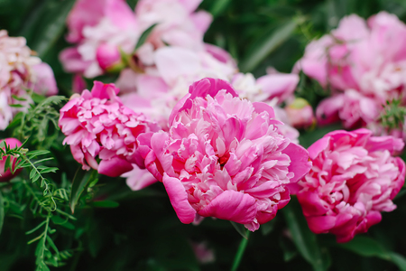 Beautiful spring peony flowers in summer garden in the village