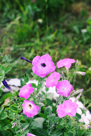 Bindweed, Convolvulus sp. purple flower, pernicious weed plant.