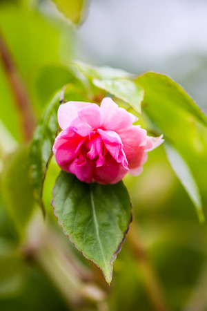 Impatiens balsaminabeautiful pink flowers outdoors